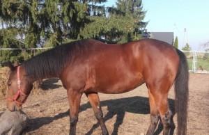 Uratowanie konia od rzeźni